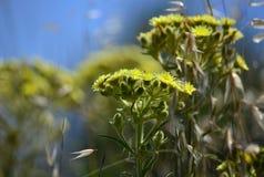 Plantas del Senecio en la floración fotos de archivo