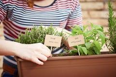 Plantas del tomillo y del sabio en jardín urbano imagen de archivo