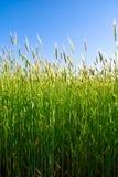 Plantas del trigo Fotos de archivo