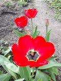 plantas del tulipán de la floración fotografía de archivo libre de regalías