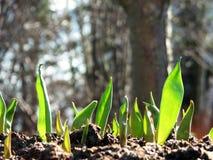 Plantas del tulipán que crecen de suelo Imágenes de archivo libres de regalías