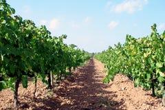 Plantas del vino Imágenes de archivo libres de regalías