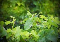 Plantas del vino Fotografía de archivo libre de regalías