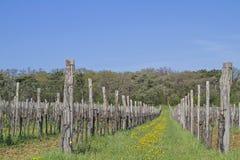 Plantas del vino que crecen en Istria Imagen de archivo libre de regalías