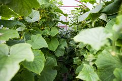 Plantas dentro del invernadero imagenes de archivo