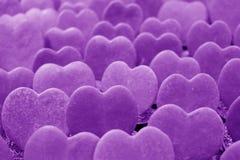 Plantas do Afortunado-coração ou Hoya alinhado Kerrii na cor roxa, fechado acima para o fundo Fotos de Stock Royalty Free