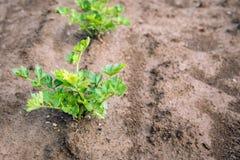 Plantas do aipo vermelho que crescem no solo do fim Fotos de Stock Royalty Free