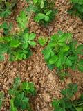 Plantas do amendoim fotografia de stock royalty free