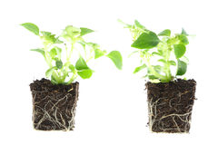 Plantas do bebê de Impatiens. Imagem de Stock