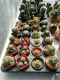 Plantas do cacto Imagens de Stock Royalty Free