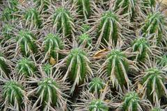 Plantas do cacto Imagens de Stock