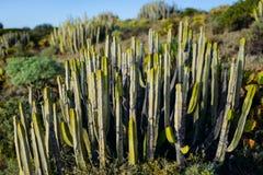 Plantas do cacto de pera espinhosa de Engelmann imagens de stock