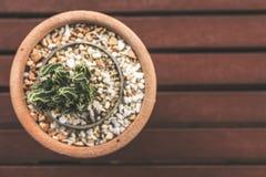 Plantas do cacto no potenciômetro de flor Foto de Stock