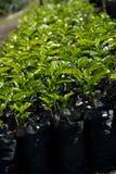 Plantas do café fotografia de stock royalty free