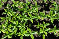 Plantas do café Foto de Stock Royalty Free