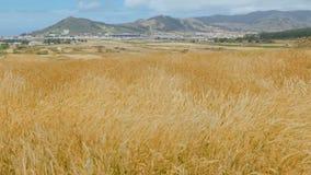 Plantas do cereal que balançam no vento em um vale da montanha no fundo da pista de decolagem do aeródromo vídeos de arquivo