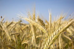 Plantas do cereal, Rye Imagem de Stock Royalty Free