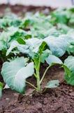 Plantas do couve-de-bruxelas Imagens de Stock Royalty Free
