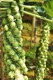 Plantas do couve-de-bruxelas no jardim vegetal Fotografia de Stock