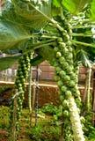 Plantas do couve-de-bruxelas no jardim vegetal Fotos de Stock