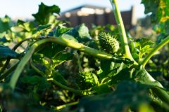 Plantas do estramônio Mostrando as folhas e os frutos verdes, com toxicidade fatal, que são plantas decorativas venenosas fotografia de stock