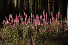 Plantas do Foxglove no esclarecimento da floresta Imagem de Stock Royalty Free