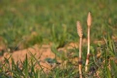 Plantas do Horsetail Fotos de Stock Royalty Free