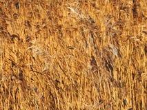 Plantas do junco de Brown no inverno Imagem de Stock Royalty Free