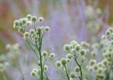 Plantas do mestre de cascavel fotografia de stock
