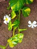 Plantas do montanhista Imagens de Stock Royalty Free
