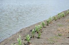Plantas do nardo Imagens de Stock Royalty Free