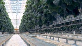 Plantas do pepino em uma estufa 4K filme