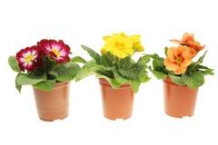 Plantas do Primula em uns potenciômetros Fotografia de Stock
