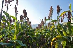 Plantas do sorgo no campo Imagens de Stock Royalty Free