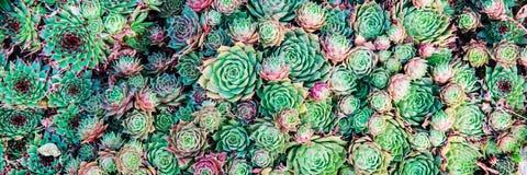 Plantas do Succulent Fundo natural ajardinar Imagem de Stock Royalty Free