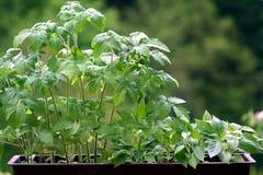 Plantas do tomate e da pimenta imagens de stock royalty free