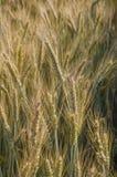 Plantas do trigo na luz do sol do campo de trigo Fotos de Stock