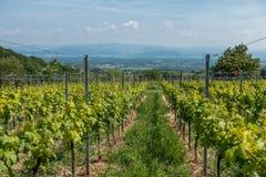 Plantas do vinho na Floresta Negra Fotografia de Stock