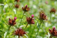 Plantas doces de desvanecimento de William (barbatus do cravo-da-índia) Imagens de Stock Royalty Free