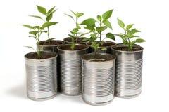 Plantas dos pimentões em uns potenciômetros do estanho Imagem de Stock