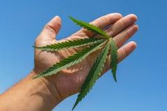 Plantas dos prados e dos campos - cânhamo, cannabis, marijuana imagem de stock royalty free