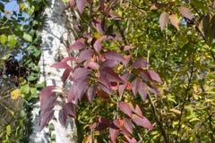 plantas e bagas das folhas de outono em cores da queda Fotos de Stock