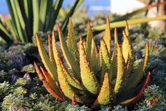 Plantas e cactos coloridos de Vera do alo?s em Madeira fotografia de stock royalty free