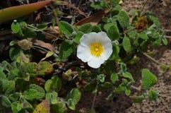 Plantas e flores de Costa Vicentina Natural Park, Portugal do sudoeste Foto de Stock