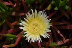 Plantas e flores de Costa Vicentina Natural Park, Portugal do sudoeste Fotografia de Stock Royalty Free