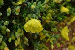 Plantas e flores de Costa Vicentina Natural Park, Portugal do sudoeste Fotografia de Stock