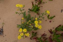 Plantas e flores de Costa Vicentina Natural Park, Portugal do sudoeste Fotos de Stock