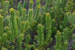 Plantas e flores de Costa Vicentina Natural Park, Portugal do sudoeste Fotos de Stock Royalty Free