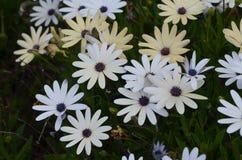Plantas e flores de Costa Vicentina Natural Park, Portugal do sudoeste Imagem de Stock