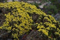 Plantas e flores de Costa Vicentina Natural Park, Portugal do sudoeste Imagem de Stock Royalty Free